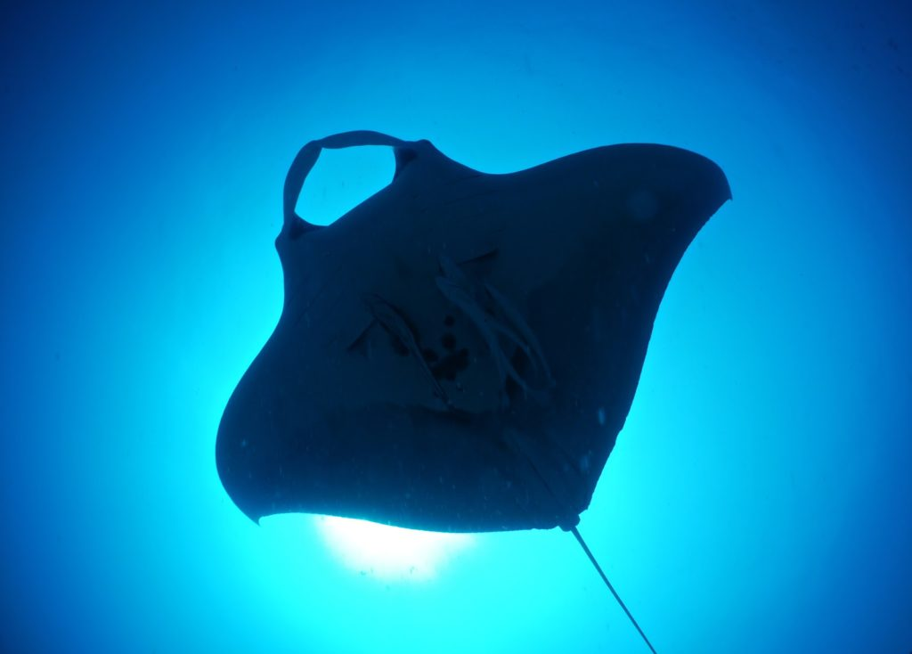 Manta Ray - imagine how it would look like in VR?